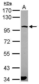 PCDHGA6 Antibody (PA5-31384) in Western Blot