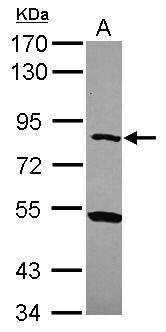 CPXM1 Antibody (PA5-31386) in Western Blot