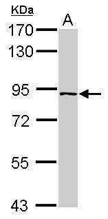 PLEKHH3 Antibody (PA5-31398)