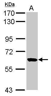 RUFY1 Antibody (PA5-31399) in Western Blot