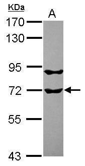 RUFY1 Antibody (PA5-31400) in Western Blot