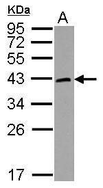 HORMAD1 Antibody (PA5-31404) in Western Blot