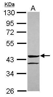 ANGPTL5 Antibody (PA5-31422) in Western Blot