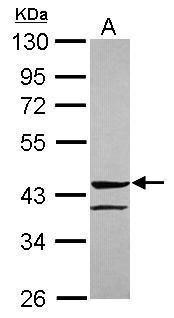 ANGPTL5 Antibody (PA5-31422)