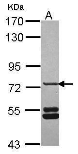 SNX33 Antibody (PA5-31423) in Western Blot