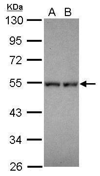 DPF1 Antibody (PA5-31430) in Western Blot