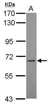 LILRB3 Antibody (PA5-31436) in Western Blot