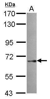 SNX18 Antibody (PA5-31460) in Western Blot