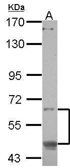 CREB3L1 Antibody (PA5-31468) in Western Blot