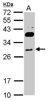 RNF166 Antibody (PA5-31503) in Western Blot