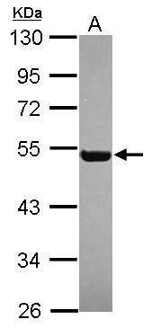 RGL4 Antibody (PA5-31507) in Western Blot