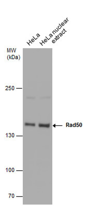 RAD50 Antibody (PA5-31554) in Western Blot