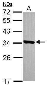 HDHD3 Antibody (PA5-31562) in Western Blot