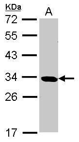 GINS4 Antibody (PA5-31566) in Western Blot