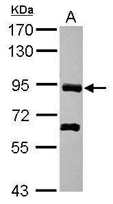 PDZRN4 Antibody (PA5-31569) in Western Blot