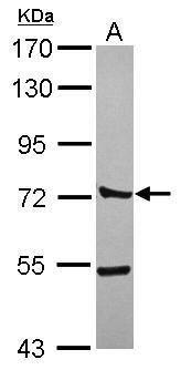 CTTNBP2NL Antibody (PA5-31583) in Western Blot