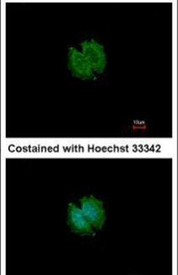 CATSPERB Antibody (PA5-31585) in Immunofluorescence