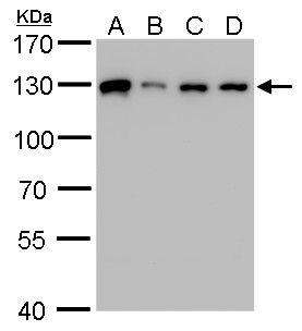 ARS2 Antibody (PA5-31593) in Western Blot