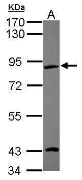 EFHC2 Antibody (PA5-31608) in Western Blot