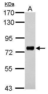PHACTR3 Antibody (PA5-31616) in Western Blot