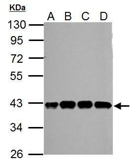 SLFNL1 Antibody (PA5-31618) in Western Blot