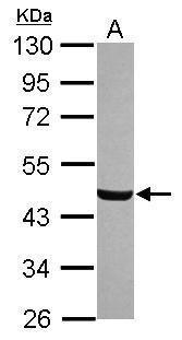C8orf30A Antibody (PA5-31623)