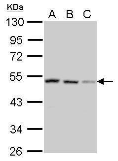SH3GLB2 Antibody (PA5-31628) in Western Blot