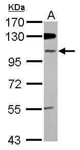 ZNF512B Antibody (PA5-31640) in Western Blot