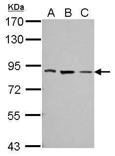 THOC5 Antibody (PA5-31643) in Western Blot