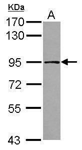 TARS2 Antibody (PA5-31649) in Western Blot
