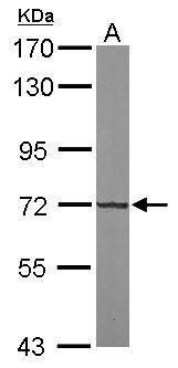 KLHL13 Antibody (PA5-31658) in Western Blot