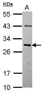 OVOL2 Antibody (PA5-31665)