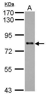 KCTD3 Antibody (PA5-31668) in Western Blot