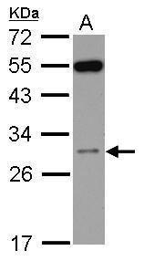RPS8 Antibody (PA5-31676) in Western Blot