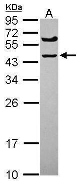 SPRYD5 Antibody (PA5-31683) in Western Blot