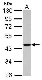 ACTRT1 Antibody (PA5-31691) in Western Blot