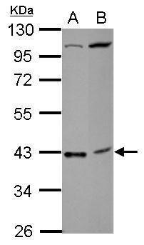 C18orf54 Antibody (PA5-31692)