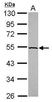 CREB3L3 Antibody (PA5-31708) in Western Blot