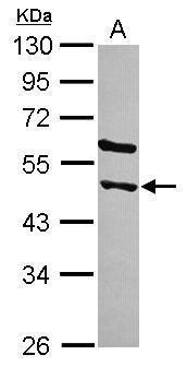 STAMBPL1 Antibody (PA5-31710) in Western Blot
