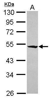 RASGEF1A Antibody (PA5-31717) in Western Blot