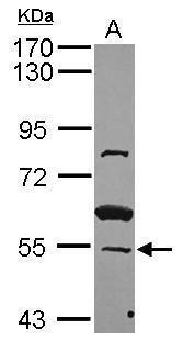 ZNF639 Antibody (PA5-31718) in Western Blot