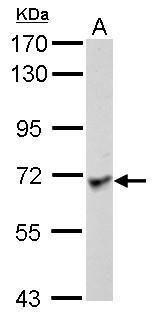 LRRC1 Antibody (PA5-31722) in Western Blot