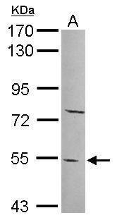 PYROXD2 Antibody (PA5-31726) in Western Blot