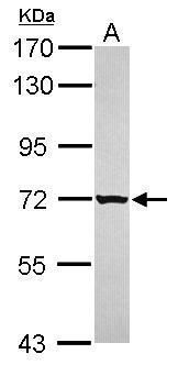 GRHL1 Antibody (PA5-31734) in Western Blot