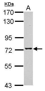 TMCO3 Antibody (PA5-31741) in Western Blot
