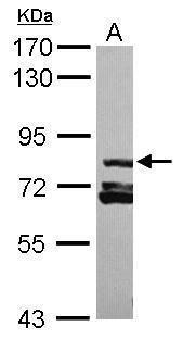 RAB11FIP3 Antibody (PA5-31744) in Western Blot