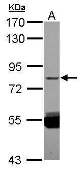 ZNF280C Antibody (PA5-31745) in Western Blot