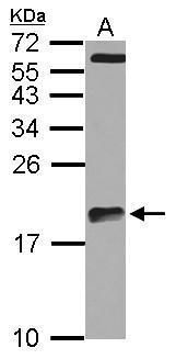 ARPC5L Antibody (PA5-31754) in Western Blot