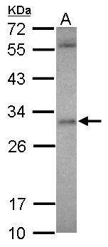 ASB12 Antibody (PA5-31755) in Western Blot
