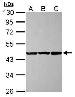 CBWD1 Antibody (PA5-31758) in Western Blot